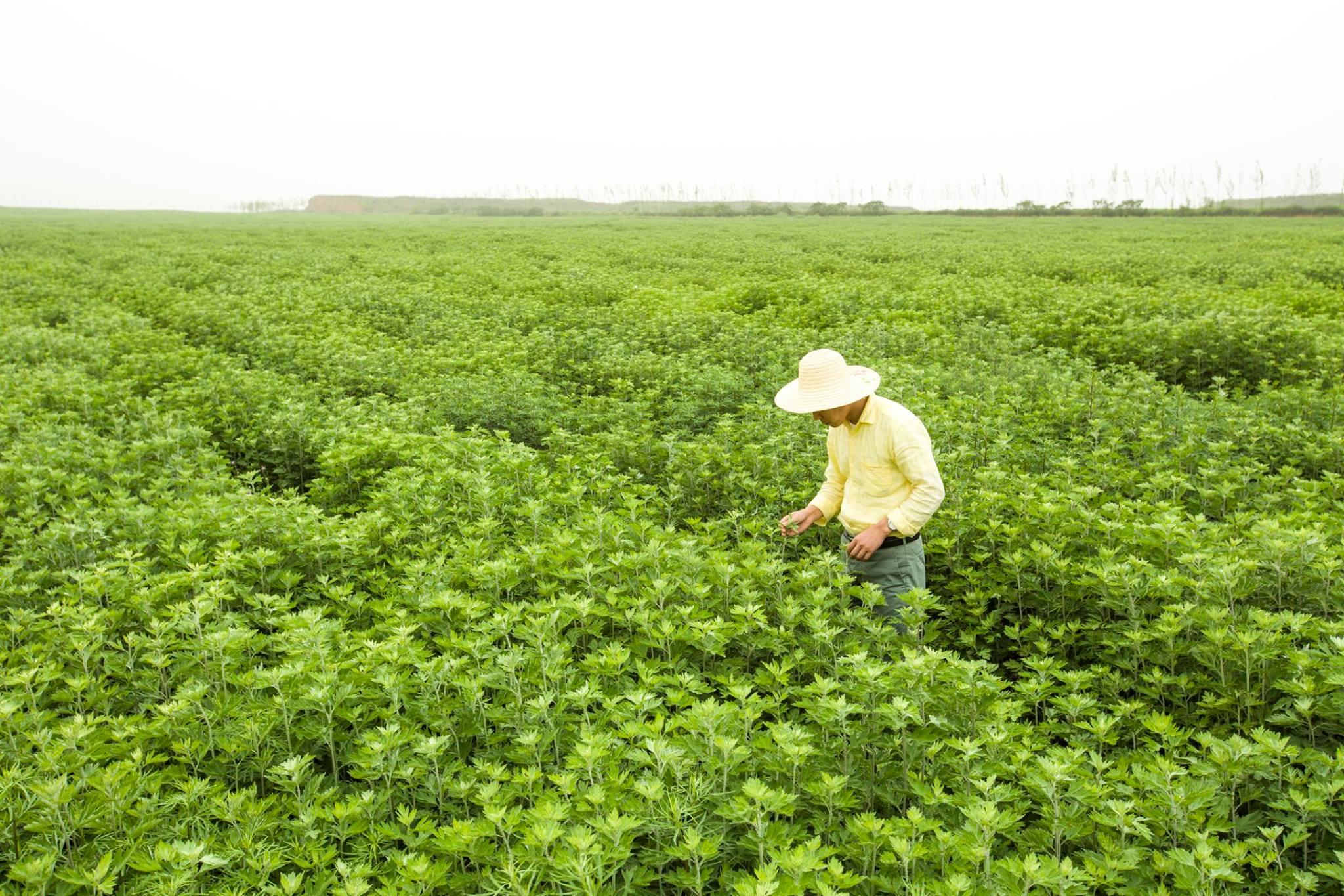 Champs d'Artemisia Argyi la plante utilisée pour la pratique de l' acupuncture & moxibustion